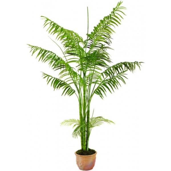 plantas-interior-areca